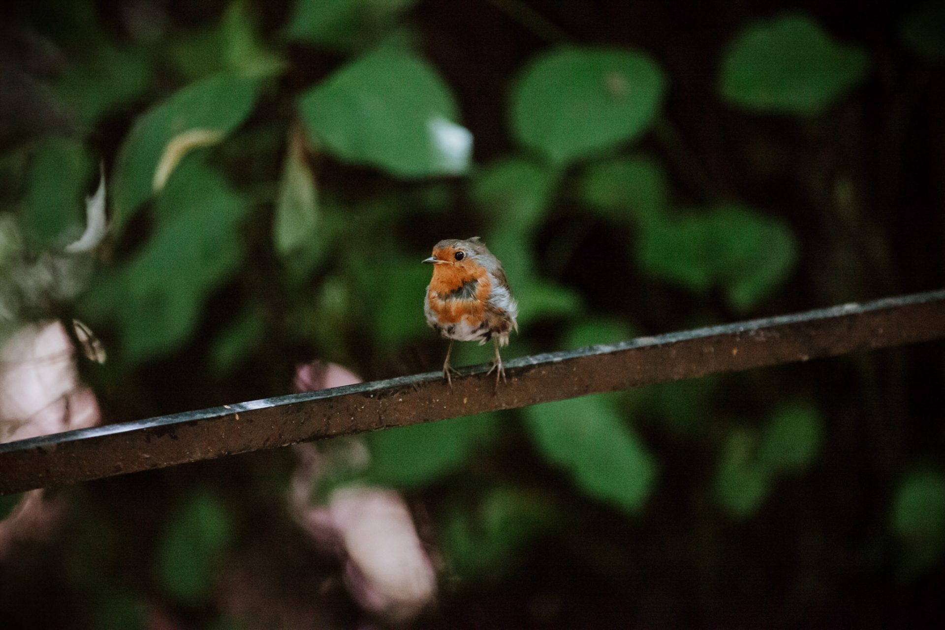 robin red breast on iron railing